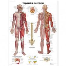 """Медицинский плакат """"Нервная система"""""""